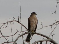 Cooper's Hawk-Middle Marsh-PNWR