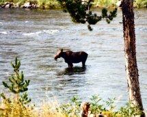Riverside Campground-Moose1