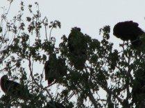 Turkey Vultures, Mar 21, 07 012