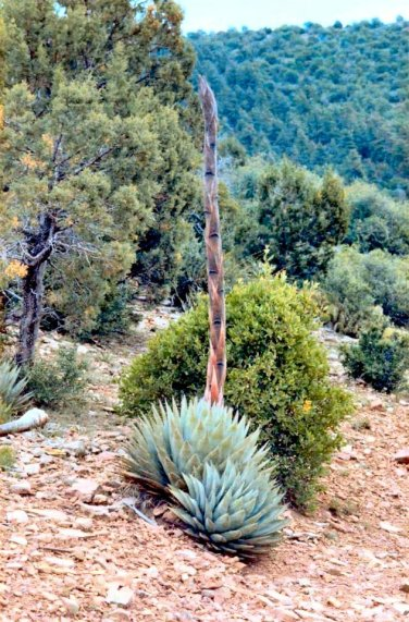 Agave parryi (1)