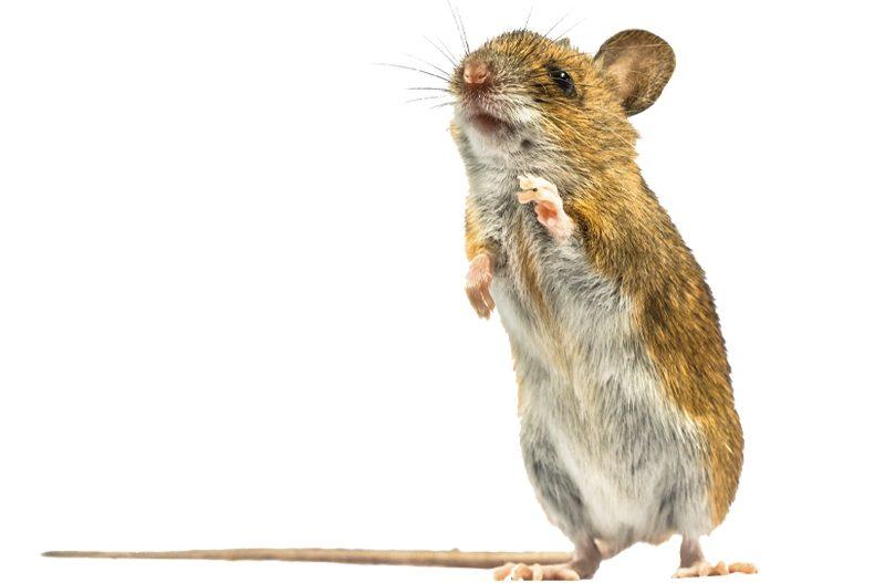 It's a Wood Rat — Git It! Git It! Git It!