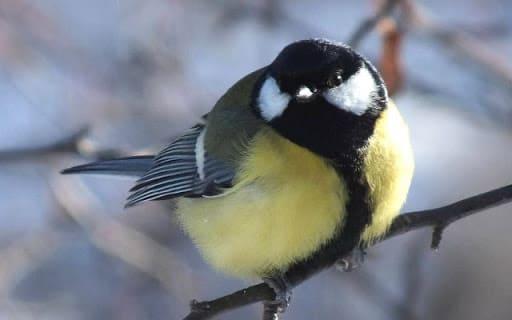 Большая синица зимующие птицы