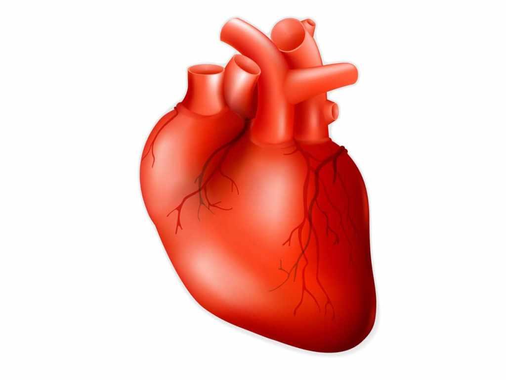Как выглядит сердце человека