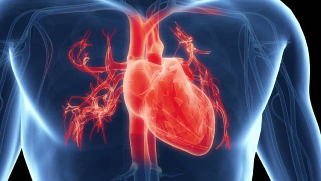 Сердце человека анатомия