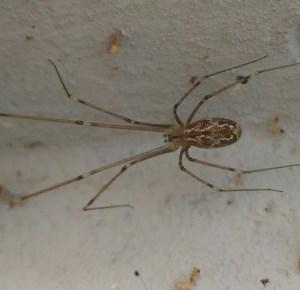 Arthropoda, Arachnida, Opisthothelae, Araneomorphae