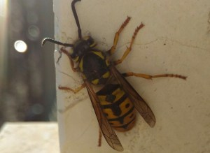 Insecta, Vespinae, Hymenoptera, Apocrita