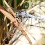 Arthropoda, Tracheata, Hexapoda, Insecta, Pterygota