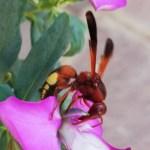 Arthropoda, Hexapoda, Insecta, Pterygota,Hymenoptera