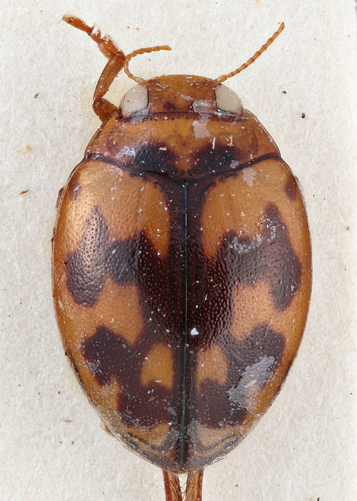 Hyphydrus japonicus (Dytiscidae) adulto