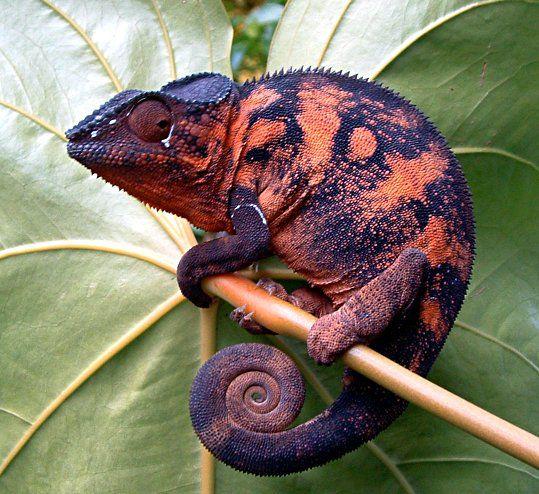 Chameleon02.jpg