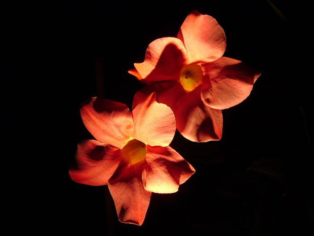 fleur-nuit-f.JPG