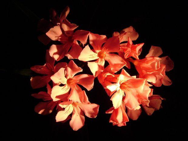 laurier-rose-dans-la-nuit-a.JPG