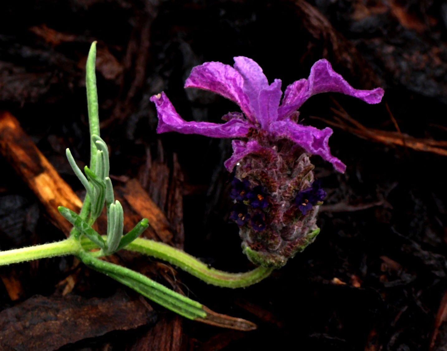 Malvorlagen Lavendel und Rosen - Malen und Zeichnen als Hobby