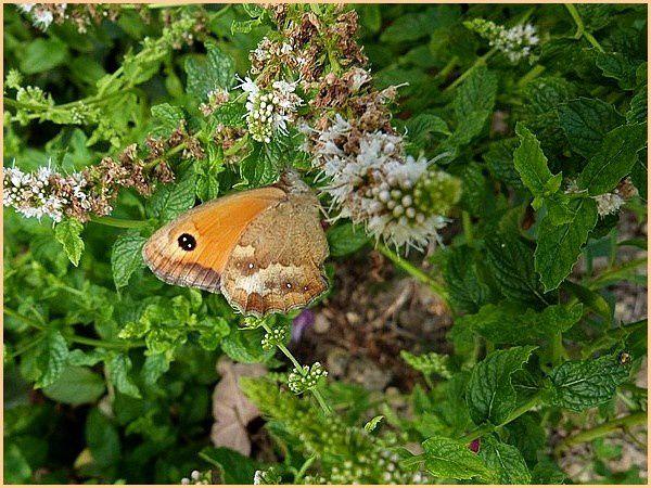 """Résultat de recherche d'images pour """"small heath (butterfly)"""""""