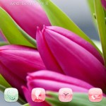 Download Gratis Themes Android Tulips Flowers Buds