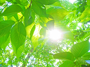 緑葉と日光