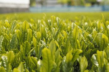 茶畑の茶の葉