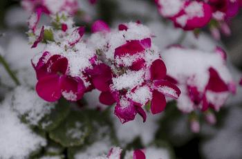 花に積もった雪