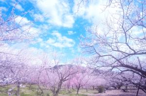 桜の木と青空