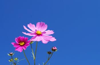 秋空とコスモスの花