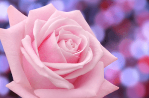 ピンク色の薔薇の花