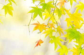 黄色くなりかけた楓の葉