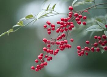南天の赤い実