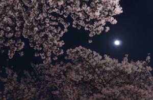 月と桜の花