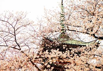 上野の山の桜