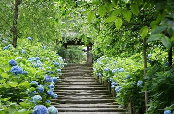 鎌倉の紫陽花の名所