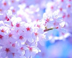 きらきらと輝く桜の花