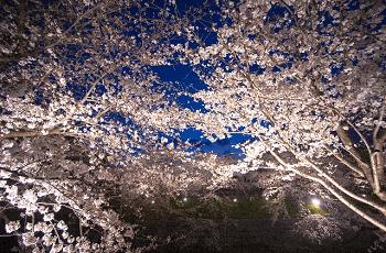 燦々と輝く夜桜