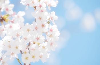 白い桜の花