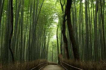 京都嵐山の竹林