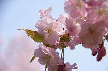 桃色の桜の花