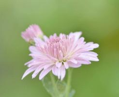 薄紫色の菊の花