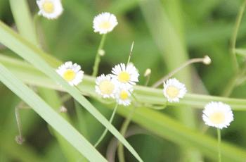 白い野菊の花