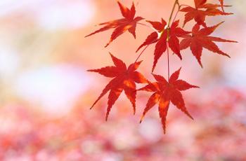 真っ赤な黄葉