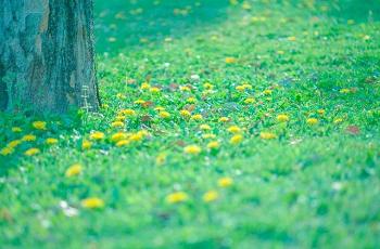 草原のたんぽぽ