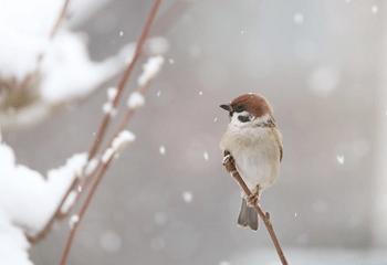 雪が降る中の雀