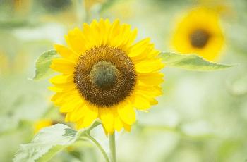 大きな向日葵の花