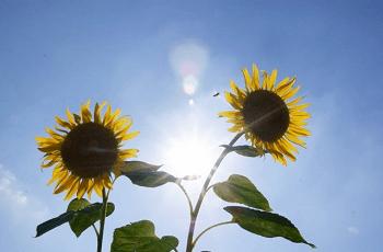 向日葵の花と太陽