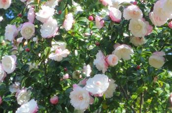 垣根の白い山茶花の花