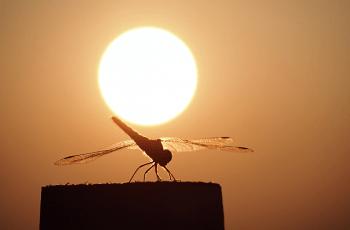 夕日と蜻蛉
