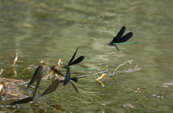 黒い羽の蜻蛉