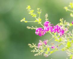 ピンク色の萩の花