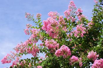 ピンク色の百日紅の花