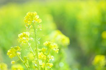 鮮やかな黄色の菜の花
