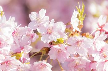 陽の光を受けて輝く桜の花