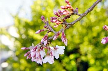 彼岸桜の花と蕾